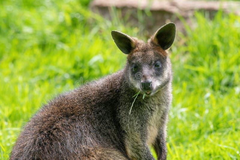 Κλείστε επάνω ενός έλους Wallaby Wallabia δίχρωμο ένα καγκουρό από την Αυστραλία στοκ φωτογραφίες