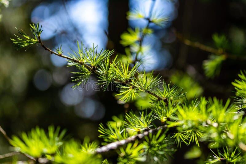 Κλείστε επάνω ενός δέντρου πεύκων στοκ φωτογραφία με δικαίωμα ελεύθερης χρήσης