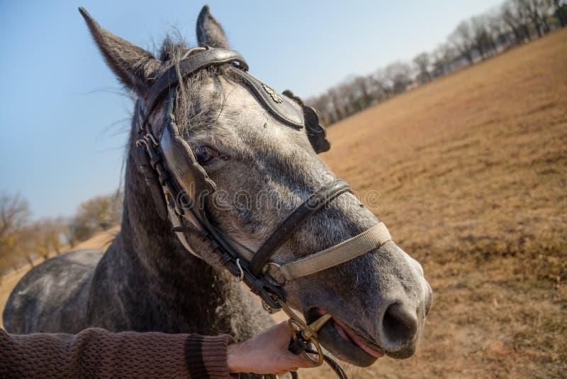 Κλείστε επάνω ενός θηλυκού κεφαλιού αλόγων με το χέρι ενός ιππέα Άλογο έξω σε ένα λιβάδι στο φθινόπωρο στοκ φωτογραφίες με δικαίωμα ελεύθερης χρήσης