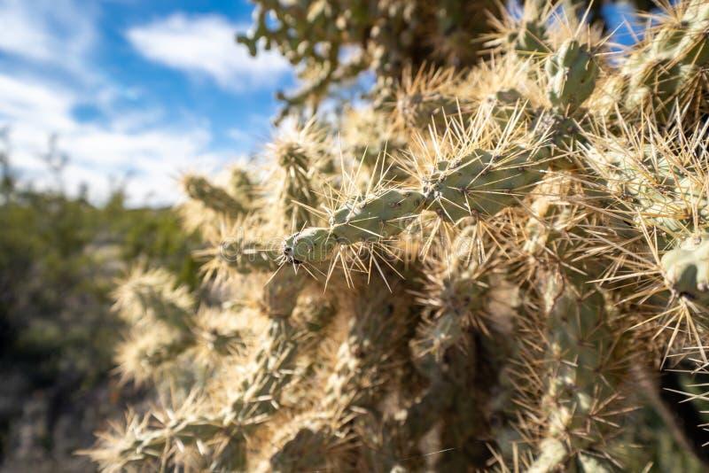 Κλείστε επάνω ενός κάκτου cholla φρούτων αλυσίδων στην έρημο Sonoran της Αριζόνα στοκ εικόνες με δικαίωμα ελεύθερης χρήσης