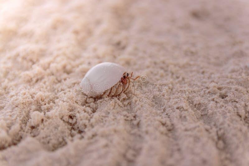 Κλείστε επάνω ενός καβουριού στο θαλασσινό κοχύλι περπατώντας στη σαφή άσπρη άμμο στοκ φωτογραφία με δικαίωμα ελεύθερης χρήσης
