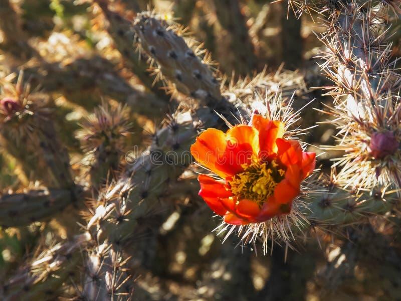 Κλείστε επάνω ενός λουλουδιού κάκτων cholla στοκ φωτογραφία