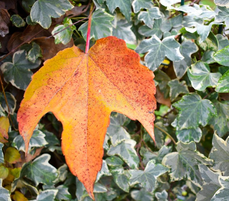 κλείστε επάνω ενός ξηρού πορτοκαλιού φύλλου σφενδάμνου μπροστά από τα πράσινα φύλλα ενός κισσού σε μια σκηνή μιας ημέρας πτώσης Τ στοκ εικόνα με δικαίωμα ελεύθερης χρήσης