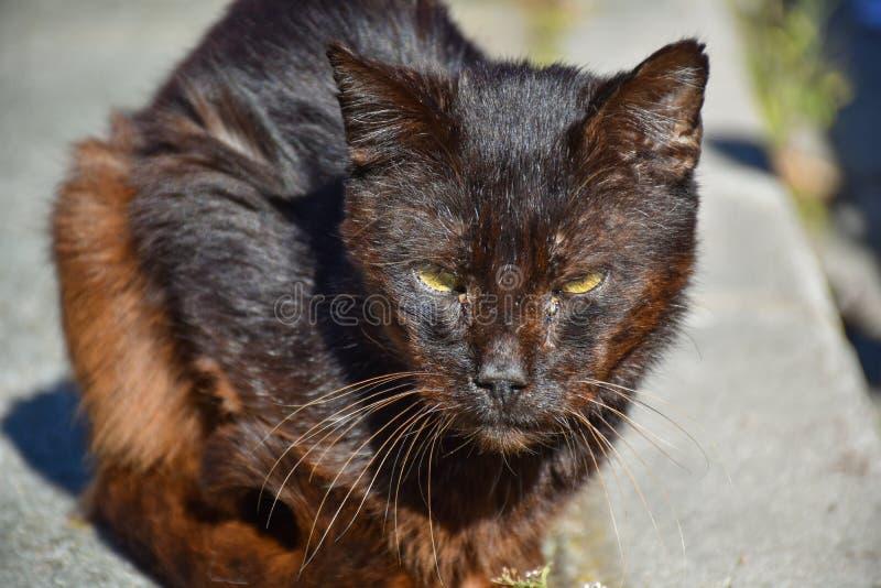 κλείστε επάνω ενός πορτρέτου της άστεγης σκοτεινής καφετιάς γάτας πολύ ήρεμης στο πεζοδρόμιο σε μια ηλιόλουστη ημέρα Η εγκαταλειμ στοκ εικόνες