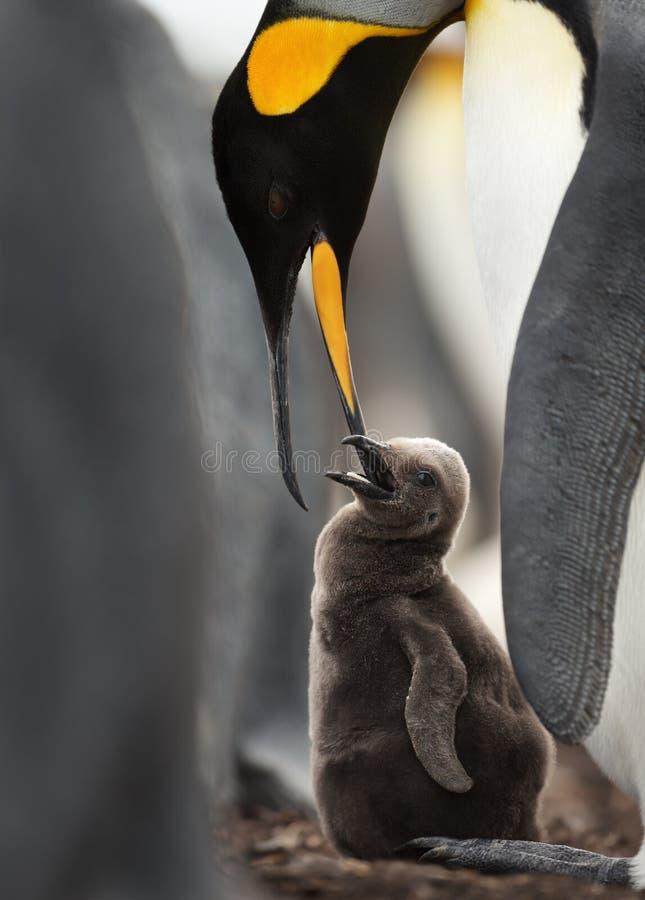 Κλείστε επάνω ενός ταΐζοντας νεοσσού βασιλιάδων penguin στοκ εικόνα