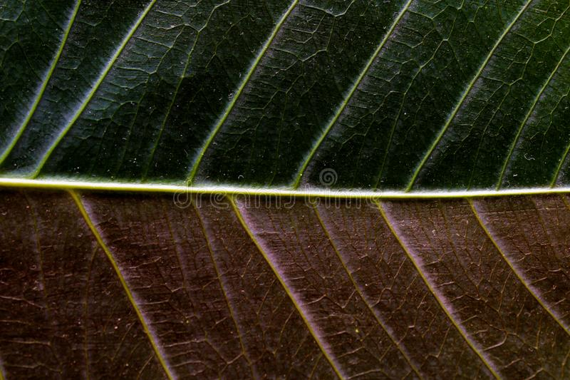 Κλείστε επάνω ενός φύλλου με δύο χρώματα στοκ φωτογραφία