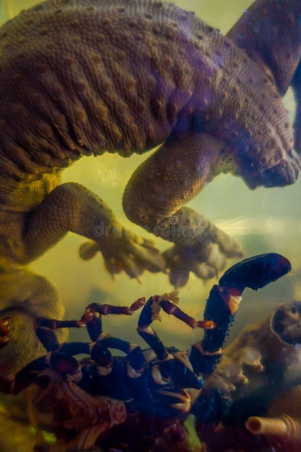 Κλείστε επάνω ενός gecko μέσα της φιάλης ουίσκυ, που προετοιμάζεται από τους ντόπιους σε ένα νησί από την ακτή του Λάος, στο χρυσ στοκ φωτογραφίες με δικαίωμα ελεύθερης χρήσης