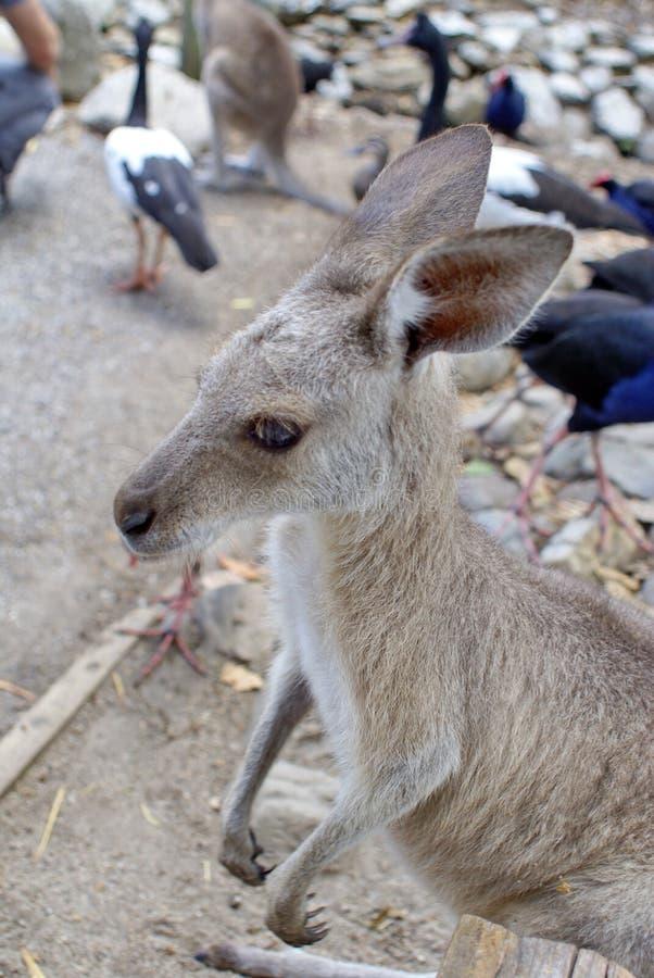 Κλείστε επάνω ενός wallaby στοκ φωτογραφίες με δικαίωμα ελεύθερης χρήσης
