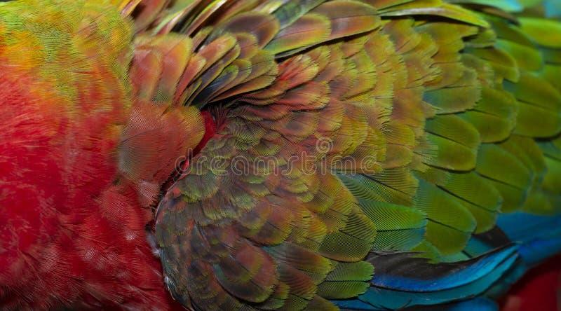 Κλείστε επάνω ζωηρόχρωμο της διπλής Catalina Macaw Hybrid μεταξύ των φτερών πουλιών ` s της Catalina Macaw και της Catalina Macaw στοκ φωτογραφία με δικαίωμα ελεύθερης χρήσης
