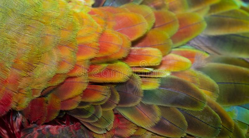 Κλείστε επάνω ζωηρόχρωμο της διπλής Catalina Macaw Hybrid μεταξύ των φτερών πουλιών ` s της Catalina Macaw και της Catalina Macaw στοκ φωτογραφίες με δικαίωμα ελεύθερης χρήσης