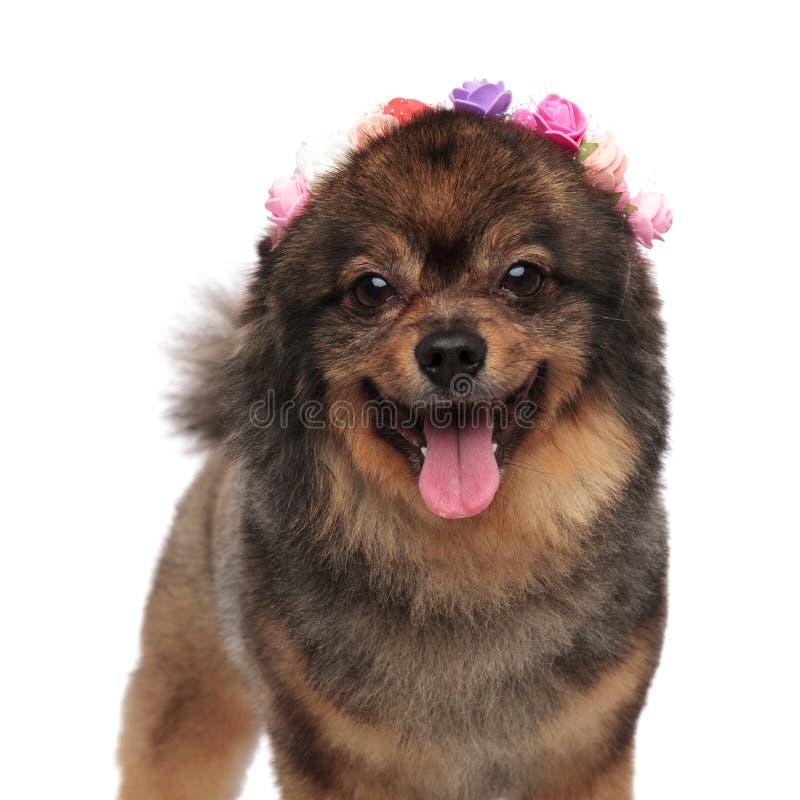 Κλείστε επάνω λατρευτού pomeranian με ζωηρόχρωμο headband λουλουδιών στοκ φωτογραφία