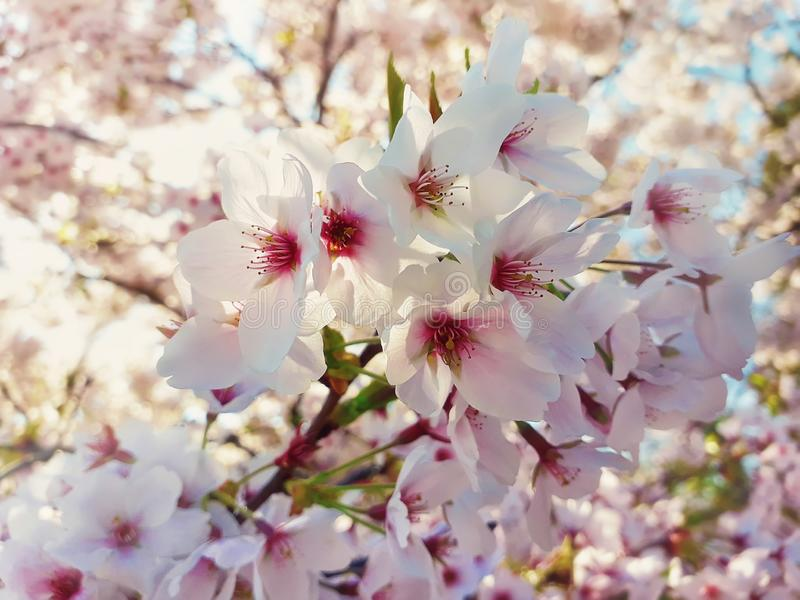 Κλείστε επάνω μιας άγριας άσπρης άνθισης δέντρων κερασιών Η άνοιξη ανθίζει το υπόβαθρο, άνθη συστάδων στον κλάδο στο πάρκο r στοκ φωτογραφίες