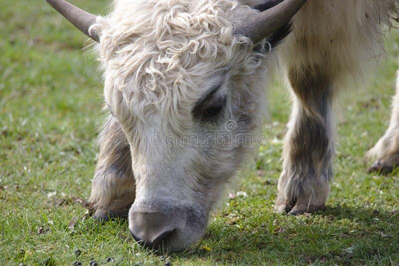 Κλείστε επάνω μιας νέας εσωτερικής yak βοσκής στοκ εικόνα με δικαίωμα ελεύθερης χρήσης
