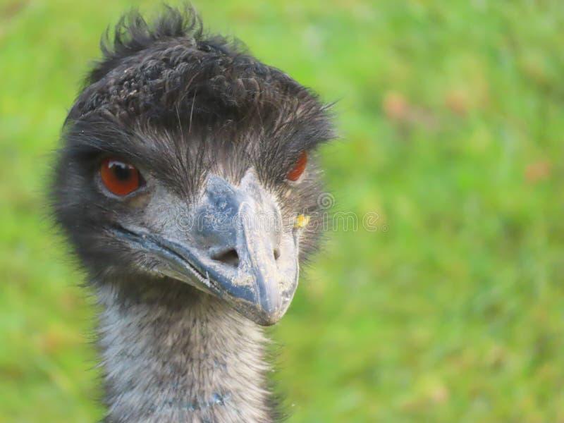 Κλείστε επάνω μιας ΟΝΕ στο ζωολογικό κήπο Banham στοκ εικόνες με δικαίωμα ελεύθερης χρήσης