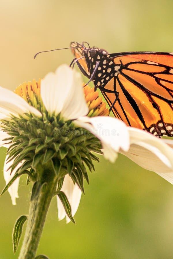 Κλείστε επάνω μιας πεταλούδας μοναρχών στοκ φωτογραφίες