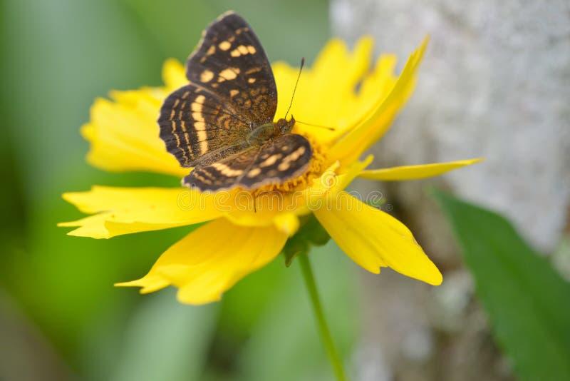 Κλείστε επάνω μιας πεταλούδας σε ένα κίτρινο λουλούδι στοκ εικόνες με δικαίωμα ελεύθερης χρήσης