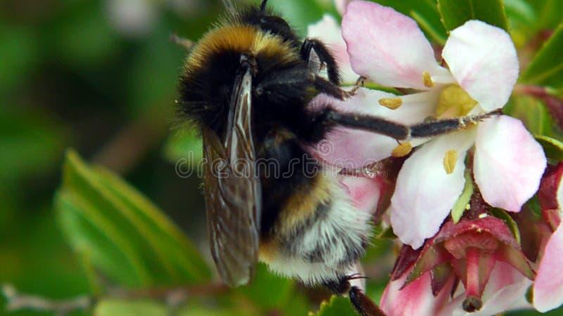 Κλείστε επάνω μιας bumble μέλισσας συλλέγοντας τη γύρη από ένα λουλούδι κήπων στοκ φωτογραφία με δικαίωμα ελεύθερης χρήσης