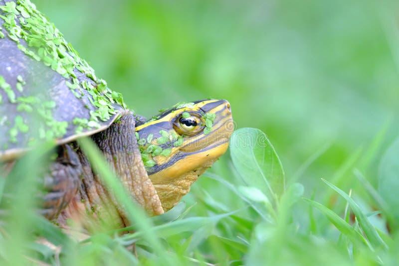 Κλείστε επάνω μια ασιατική χελώνα κιβωτίων σε έναν πράσινο κήπο με πολλή μικρή φτέρη νερού στοκ φωτογραφίες με δικαίωμα ελεύθερης χρήσης