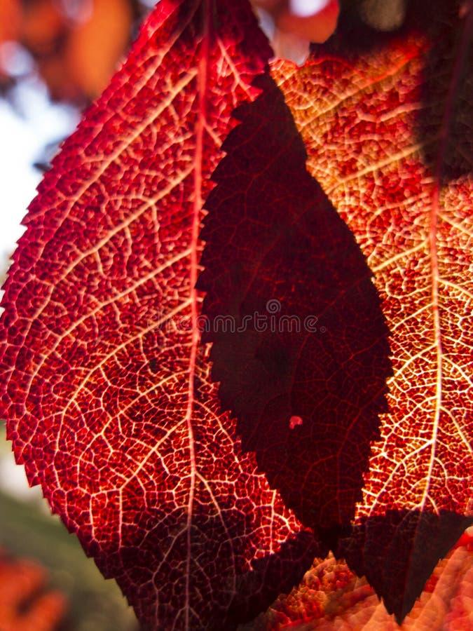 κλείστε επάνω περάσματα ήλιων φθινοπώρου μέσω των κόκκινων φύλλων στοκ φωτογραφίες