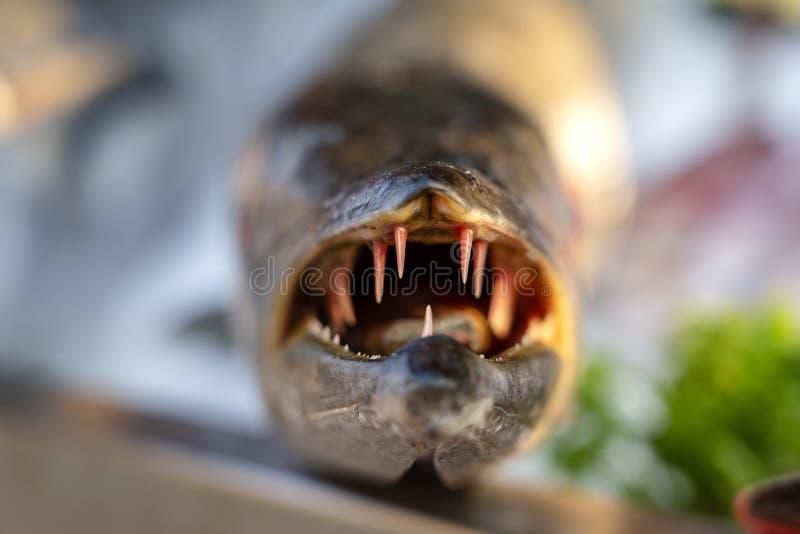 Κλείστε επάνω στα δόντια barracuda Φρέσκο barracuda ψαριών θάλασσας στην αγορά τροφίμων οδών Έννοια θαλασσινών Ακατέργαστο barrac στοκ φωτογραφία με δικαίωμα ελεύθερης χρήσης