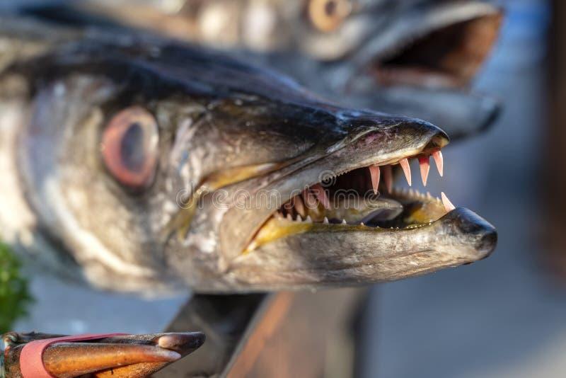Κλείστε επάνω στα δόντια barracuda Φρέσκο barracuda ψαριών θάλασσας στην αγορά τροφίμων οδών r Ακατέργαστο barracuda για το μαγεί στοκ φωτογραφία με δικαίωμα ελεύθερης χρήσης