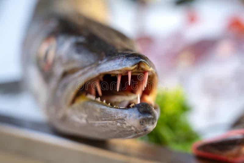 Κλείστε επάνω στα δόντια barracuda Φρέσκο barracuda ψαριών θάλασσας στην αγορά τροφίμων οδών r Ακατέργαστο barracuda για το μαγεί στοκ εικόνα με δικαίωμα ελεύθερης χρήσης