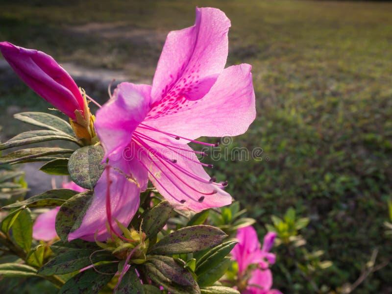 Κλείστε επάνω στο ρόδινο λουλούδι στον κήπο στοκ φωτογραφίες