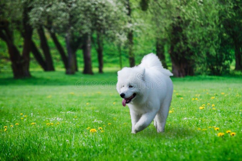 Κλείστε επάνω στο σκυλί Samoyed που τρέχει στη χλόη στοκ φωτογραφία με δικαίωμα ελεύθερης χρήσης