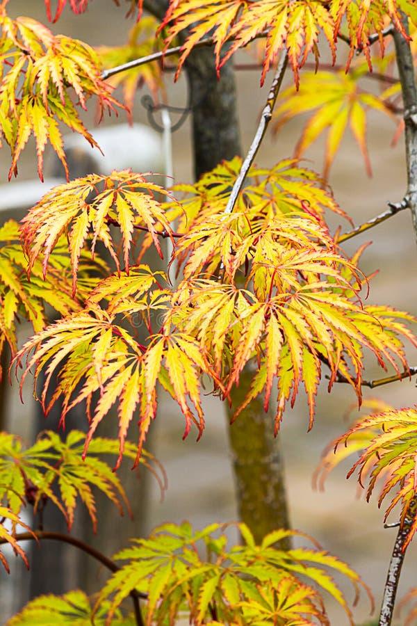 Κλείστε επάνω τα κίτρινα και κόκκινα ιαπωνικά φύλλα σφενδάμου στοκ φωτογραφία