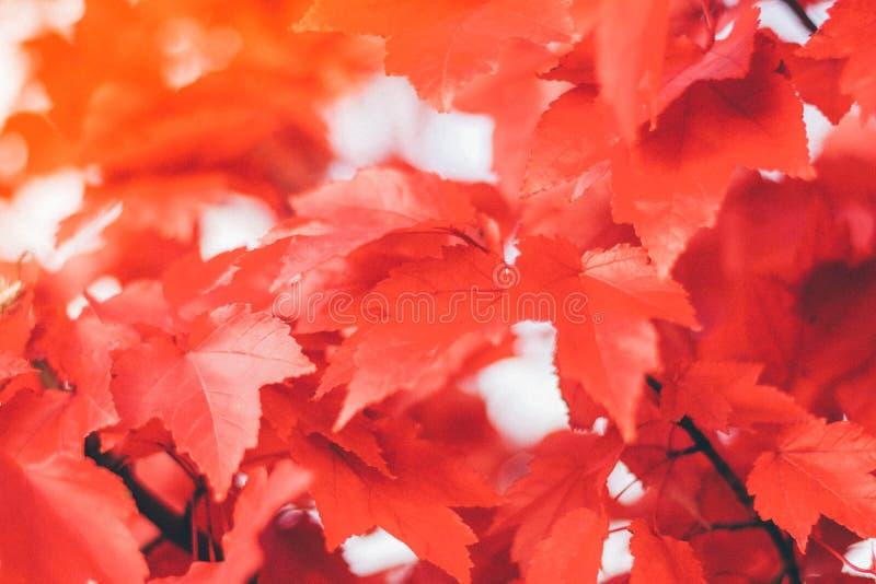 Κλείστε επάνω τα κόκκινα φύλλα σφενδάμου στοκ φωτογραφία με δικαίωμα ελεύθερης χρήσης