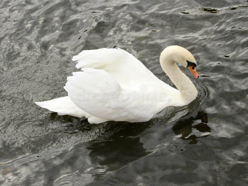 Κλείστε επάνω τα λαμπρά άσπρα σχηματισμένα αψίδα κύκνος φτερά ενάντια στο μαύρο ποταμό στοκ εικόνες με δικαίωμα ελεύθερης χρήσης