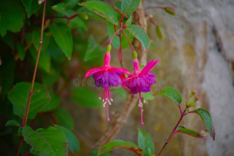 Κλείστε επάνω τα λουλούδια sivestres του κήπου στοκ φωτογραφία με δικαίωμα ελεύθερης χρήσης