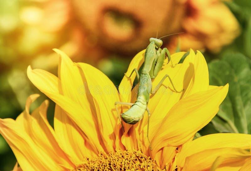 Κλείστε επάνω τα πράσινα mantis preying στον ηλίανθο πετάλων στοκ εικόνα με δικαίωμα ελεύθερης χρήσης