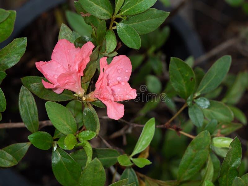 Κλείστε επάνω τα ρόδινα Rhododendron λουλούδια arboreum με τα πράσινα φύλλα στοκ φωτογραφίες με δικαίωμα ελεύθερης χρήσης