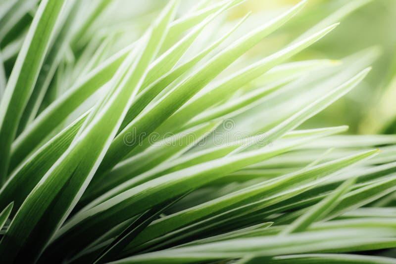 Κλείστε επάνω τα φύλλα του chlorophytum στοκ εικόνες με δικαίωμα ελεύθερης χρήσης