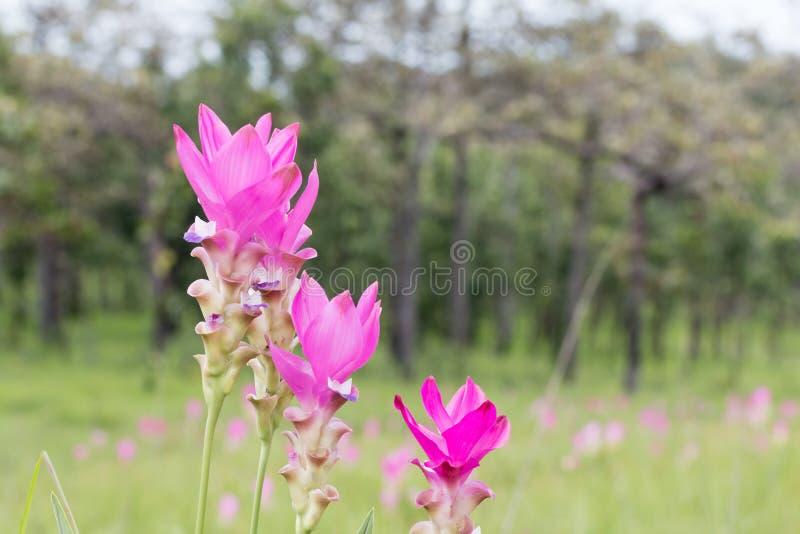 Κλείστε επάνω τεσσάρων Σιάμ της τουλίπας ή του λουλουδιού Krachiew στον τομέα στοκ εικόνες