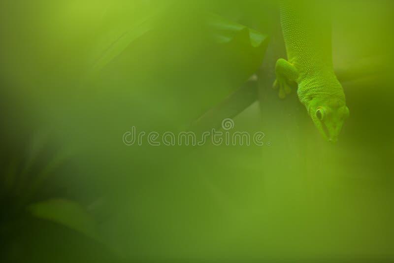 Κλείστε επάνω την άποψη ενός πράσινου Gecko στοκ φωτογραφία με δικαίωμα ελεύθερης χρήσης