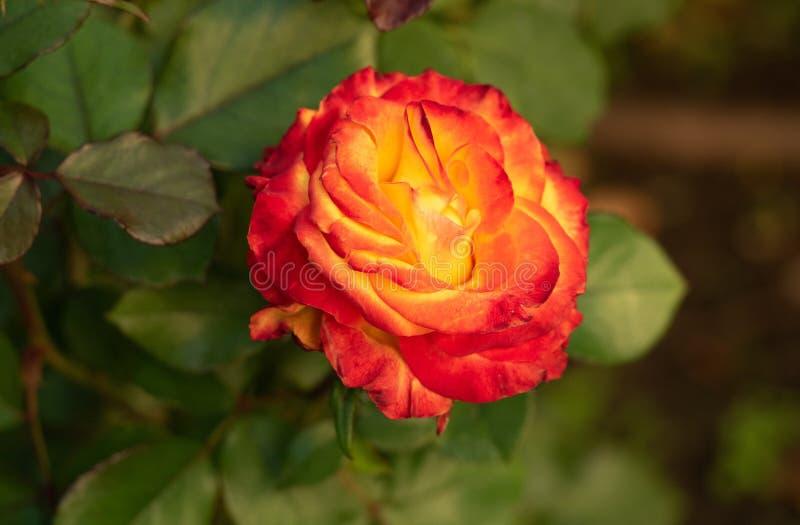 Κλείστε επάνω την άποψη σχετικά με κίτρινο αυξήθηκε στο rosarium λεπτομερές ανασκόπηση floral διάνυσμα σχεδίων Ενιαίος αυξήθηκε μ στοκ εικόνες