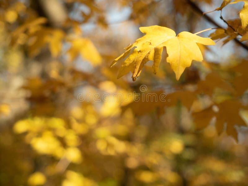 Κλείστε επάνω την άποψη σχετικά με τα κίτρινα φύλλα που κρεμούν στον κλάδο δέντρων κίτρινο υπόβαθρο φυλλώματος Χρώματα του ξύλου  στοκ φωτογραφία με δικαίωμα ελεύθερης χρήσης