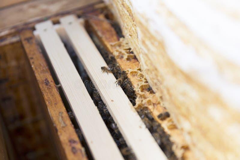 Κλείστε επάνω την άποψη του ανοιγμένου σώματος κυψελών που παρουσιάζει τα πλαίσια που εποικούνται από τις μέλισσες μελιού στοκ φωτογραφία