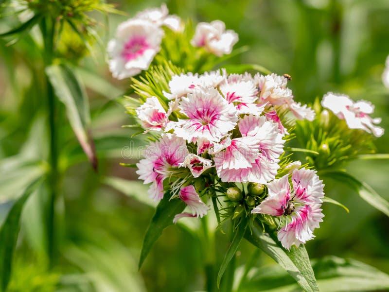 Κλείστε επάνω την άποψη του καλοκαιριού ανθίζοντας το γλυκό William Dianthus barbat στοκ εικόνες