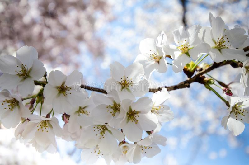 Κλείστε επάνω την άποψη του λουλουδιού ανθών κερασιών στο Washington DC στοκ εικόνες με δικαίωμα ελεύθερης χρήσης
