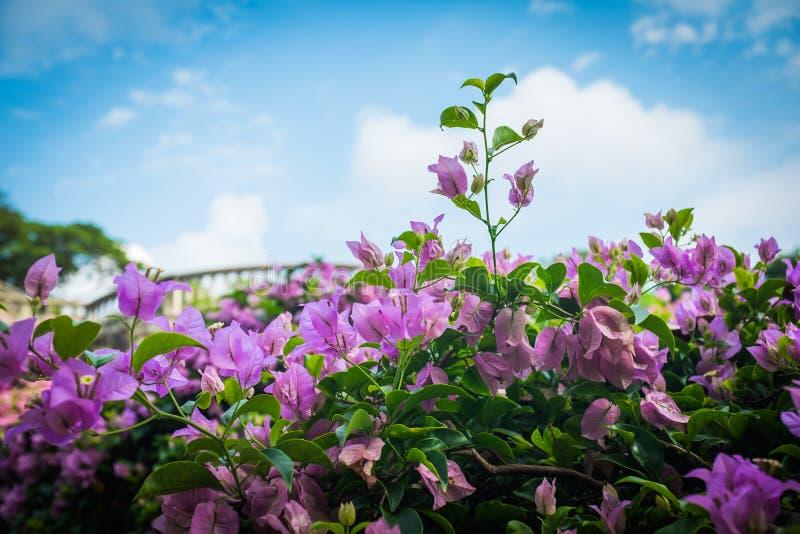 Κλείστε επάνω την άποψη του ρόδινου bougainvillea στοκ φωτογραφίες