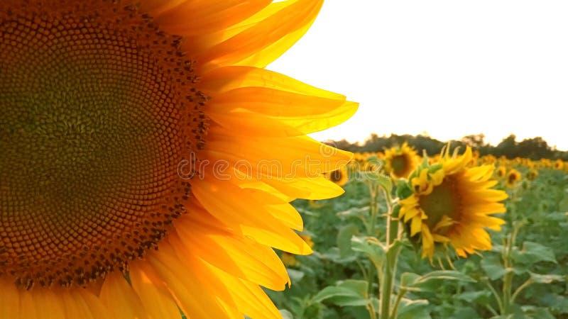 Κλείστε επάνω την άποψη των λουλουδιών ηλίανθων στον τομέα βραδιού στο αριστερό nWarm ήλιος μέσω των λεπτών πετάλων ? στοκ εικόνες
