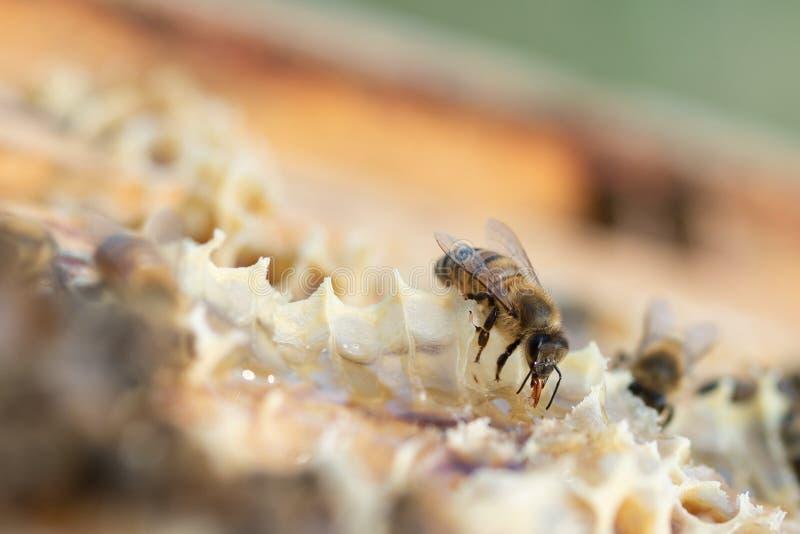 Κλείστε επάνω την άποψη των μελισσών μελιού εργαζόμενος στην κηρήθρα στοκ εικόνες με δικαίωμα ελεύθερης χρήσης