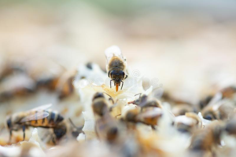 Κλείστε επάνω την άποψη των μελισσών μελιού εργαζόμενος στην κηρήθρα στοκ φωτογραφία
