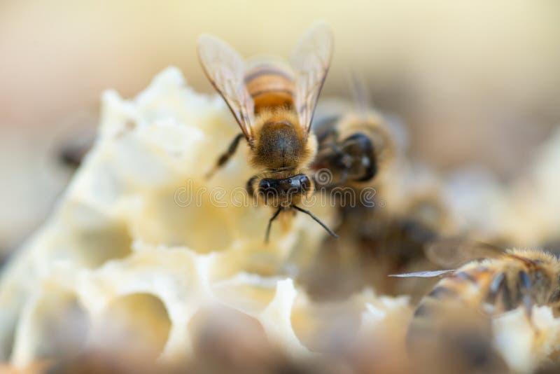 Κλείστε επάνω την άποψη των μελισσών μελιού εργαζόμενος στην κηρήθρα στοκ εικόνα με δικαίωμα ελεύθερης χρήσης
