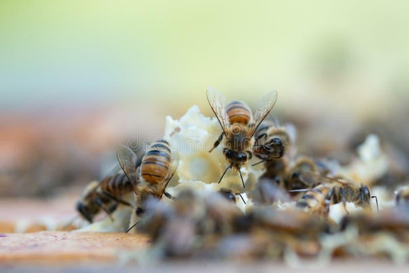 Κλείστε επάνω την άποψη των μελισσών μελιού εργαζόμενος στην κηρήθρα στοκ φωτογραφίες με δικαίωμα ελεύθερης χρήσης