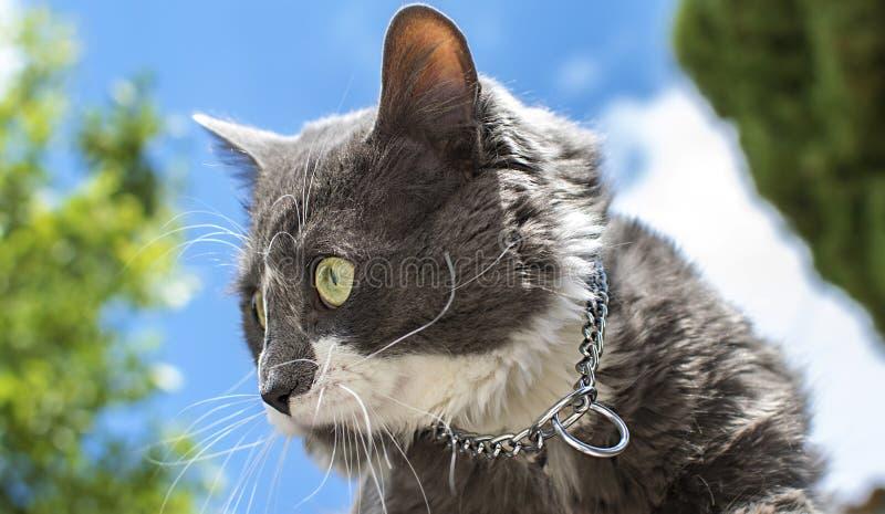 Κλείστε επάνω την άποψη όμορφου πράσινου cat& x27 μάτι του s Γκρίζο και άσπρο παιχνίδι γατών υπαίθριο Όμορφη κατασκευασμένη γούνα στοκ εικόνα