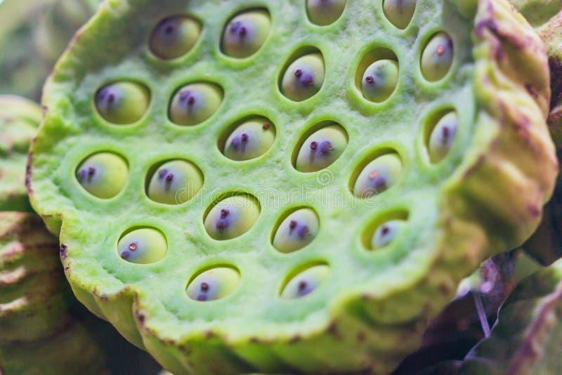 Κλείστε επάνω την εκλεκτική εστίαση των σπόρων λωτού και του ντους λωτού Οι σπόροι Lotus είναι εδώδιμοι πυρήνες των εγκαταστάσεων στοκ εικόνα με δικαίωμα ελεύθερης χρήσης